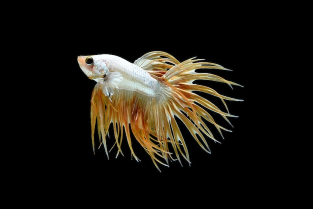 Male crown tail betta splendens or siamese fighting fish