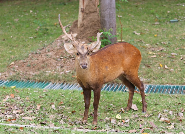 Male deer on the meadow