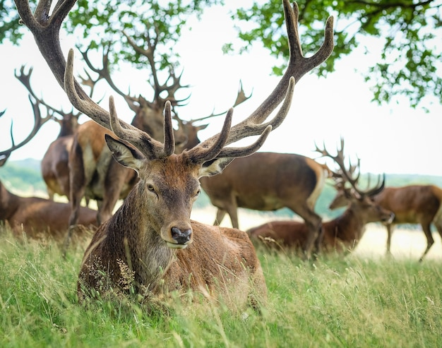 Male elk surrounded by others in a field