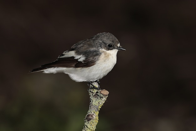 Male european pied flycatcher ficedula hypoleuca