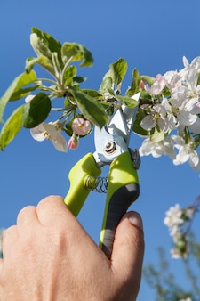Male farmer look after the garden. spring pruning of fruit tree. man with pruner shears the tips of apple tree