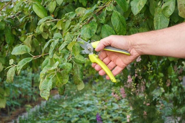 남자 농부는 정원을 돌봅니다. 과일 나무의 계획된 가지 치기. 사과 나무의 끝을 가위로 깎는 남자