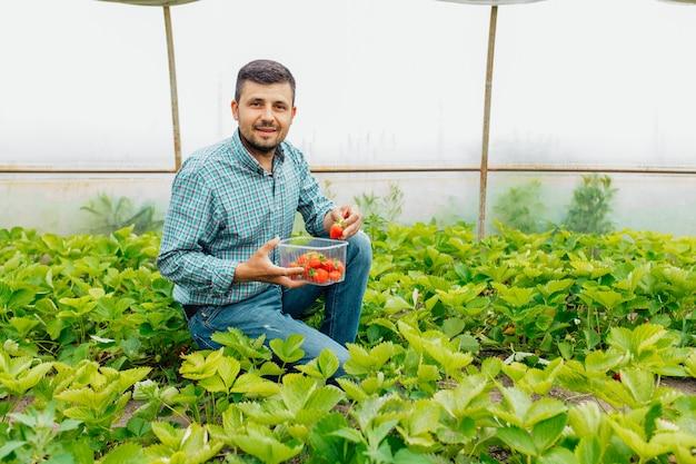 Мужчина-фермер смотрит в камеру и собирает спелую красную клубнику урожай ягод фермер держит коробку ягод клубники крупным планом