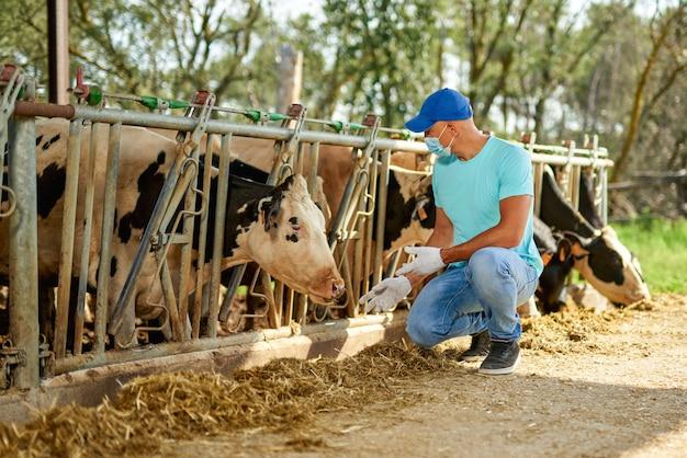 바이러스 백신 마스크를 쓴 남성 농부는 젖소가있는 농장에서 문제를 겪고 있습니다.