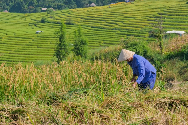 Male farmers harvesting rice in the mountains in rice fields in northern thailand.