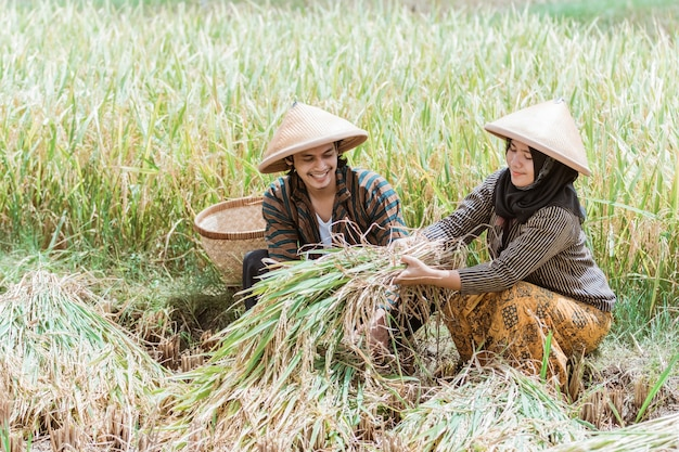 Male and female asian farmers squat while harvesting rice plants in the rice fields