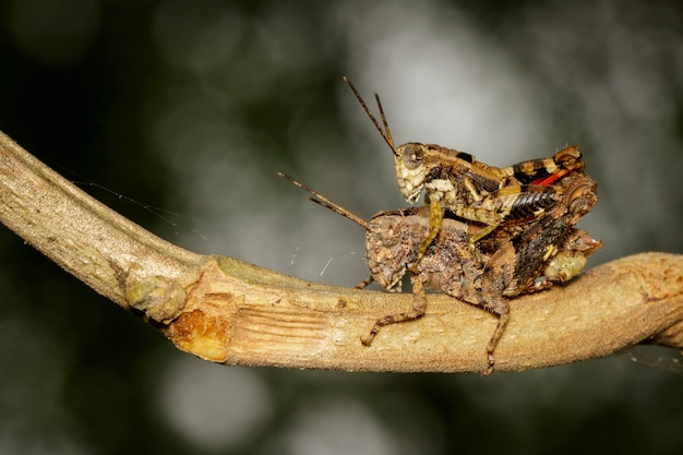 Male and female brown grasshoppers make love on the branch