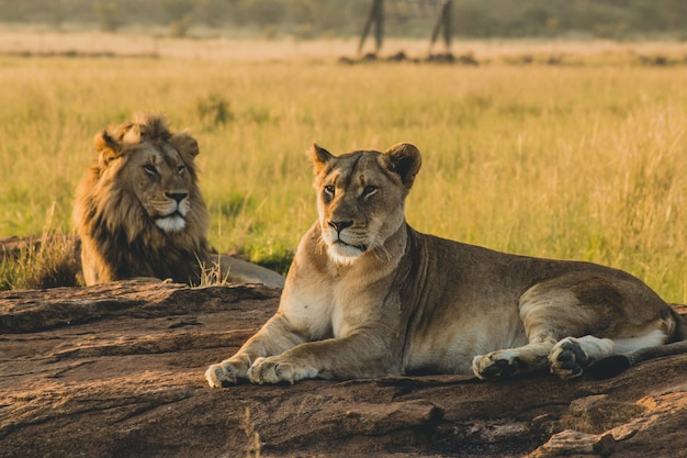 Male and female lions laying on the sand and resting