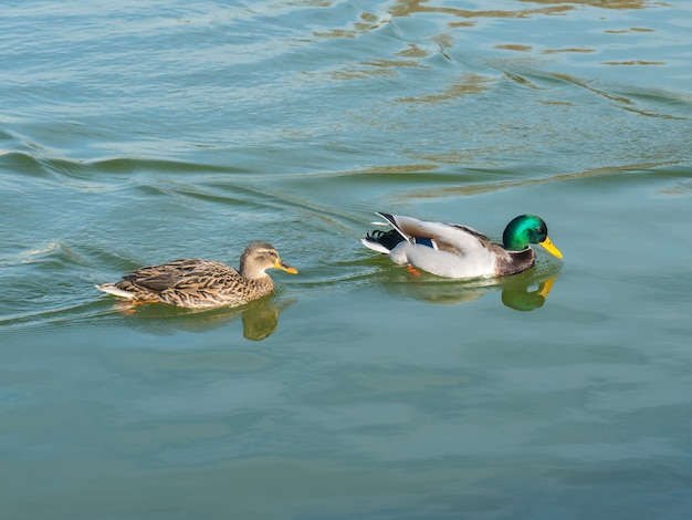 Male and female mallard duck swimming on a pond with green water, animals