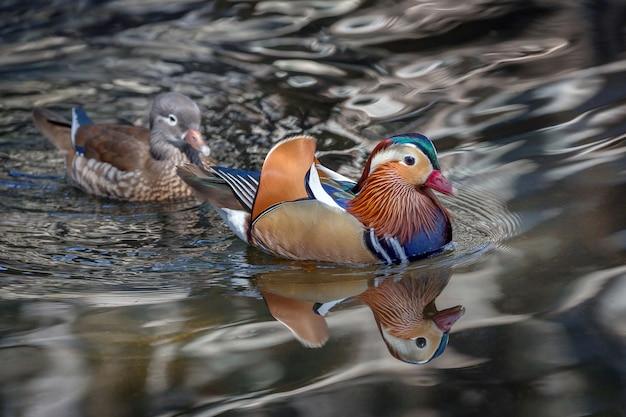 Male and female mandarin ducks in the lake water.