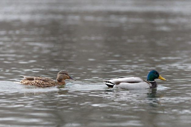 Male and female on the water of the river in early spring. mallard during migration.