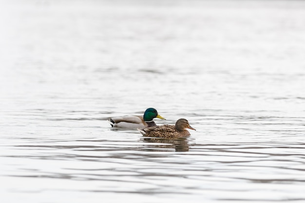Male and female on the water of the river in early spring