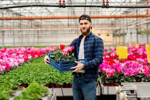 Мужской флорист с коробкой цикламен в руках. розовые растения цикламена в горшках. садоводство и флористика. работа с цветами и растениями