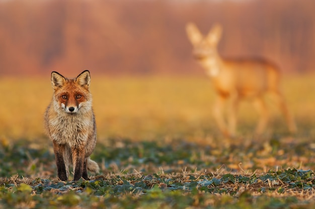 Male fox standing on the field and watching with roe deer walking in the background.
