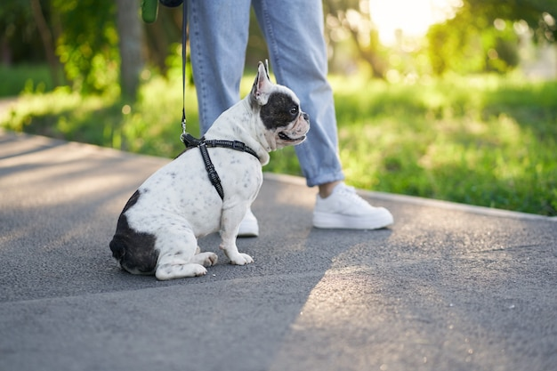 Male french bulldog having rest on road in park