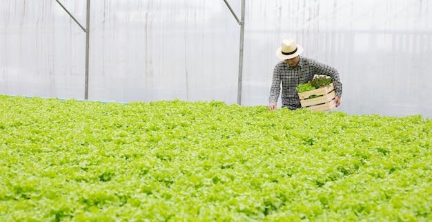 남성 정원사는 수경법 야채 농장에서 수확 한 유기농 야채를 수집하고 있습니다.
