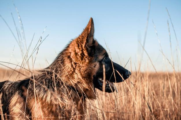 Male german shepherd puppy in the field