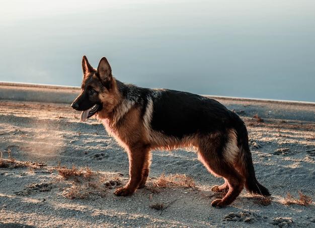 Male german shepherd puppy near lake