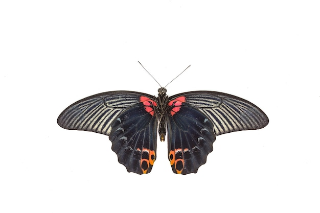 Male great mormon butterfly on white