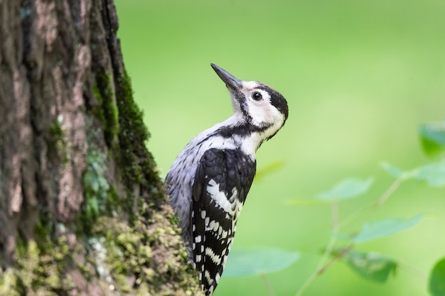 A male great spotted woodpecker (dendrocopos major) looking for insects on the side of a tree