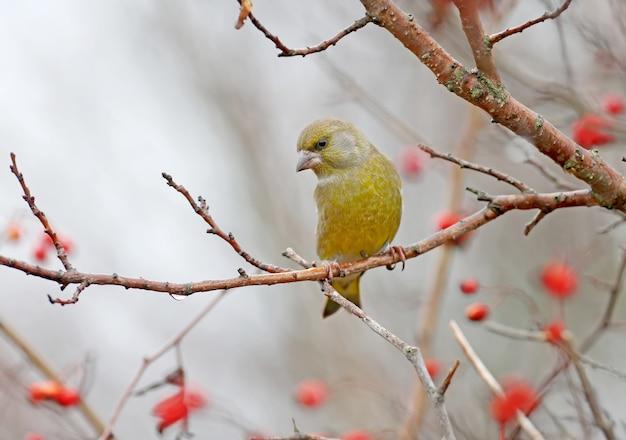 호손의 붉은 열매에 대 한 지점에 남성 Greenfinch 프리미엄 사진