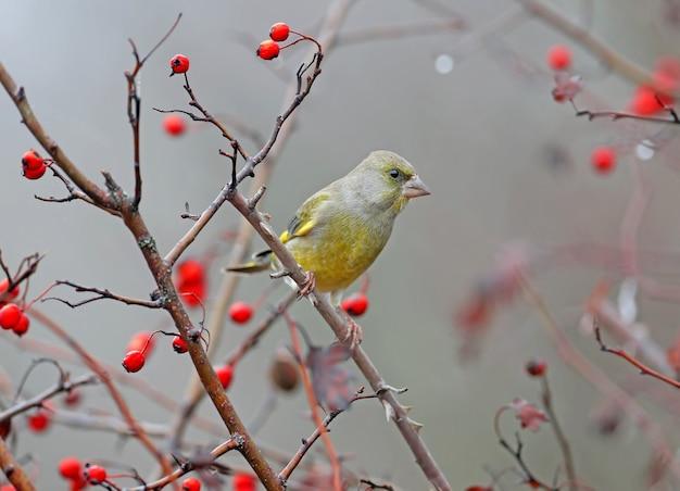 호손의 붉은 열매에 대 한 지점에 남성 greenfinch