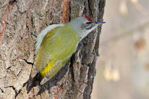 나무에 남성 회색 딱따구리입니다. 초상화 닫기