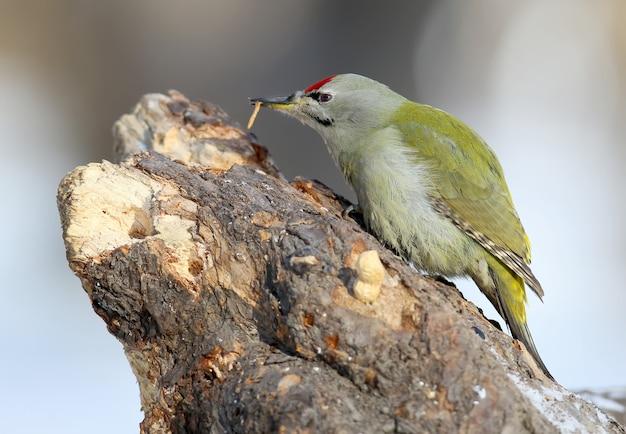 나무에 남성 회색 딱따구리가 벌레를 먹는다. 초상화 닫기