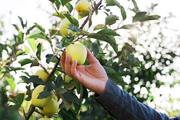 男性の手は、果樹園のリンゴの木の枝に美しいおいしい青リンゴを持ち、収穫します。外の庭で秋の収穫。村、素朴なスタイル。