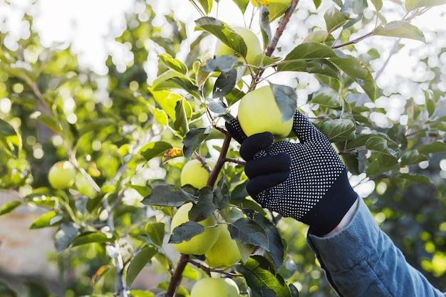 男性の手は果樹園の収穫でリンゴの木の枝に美しいおいしい青リンゴを保持します