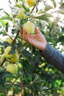 男性の手は、果樹園のリンゴの木の枝に美しいおいしい青リンゴを持って収穫します。