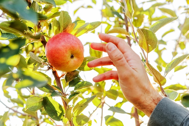Male hand holds beautiful tasty red apple on branch of apple tree in orchard, harvesting.