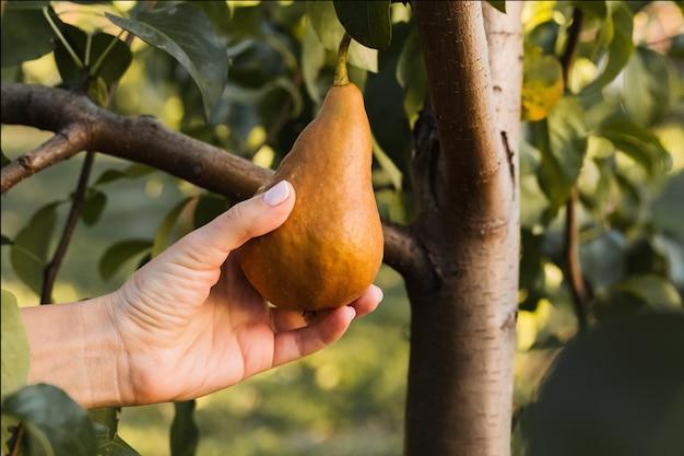 男性の手は、果樹園のリンゴの木の枝に美しいおいしい熟した梨を持ち、食べ物やジュースを収穫している。外の庭で秋の収穫。村、素朴なスタイル。エコ、農産物。