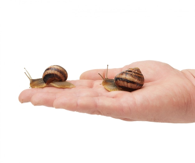 Male hand holds a brown snail on a white isolated