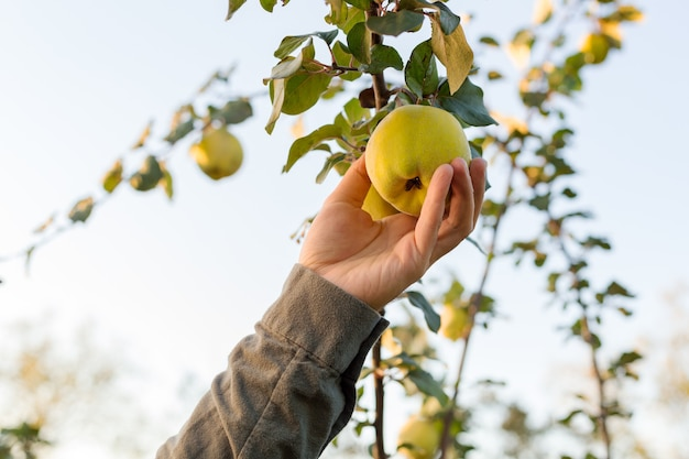 Male hand holds fresh juicy tasty ripe quince fruit on branch of apple quince fruits tree in orchard for food or juice