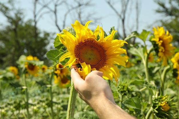 Male hand holds sunflower.