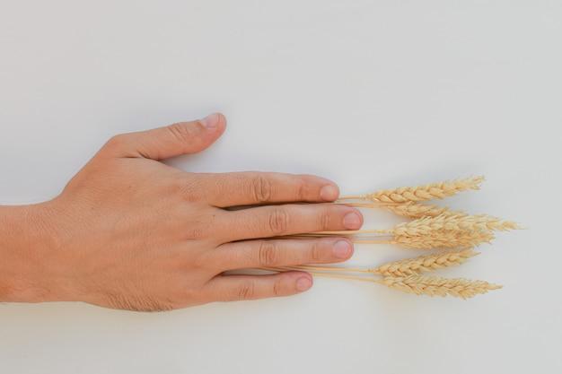 Мужская рука, открытая ладонь, держа колосья пшеницы. колоски закладываются между пальцами руки. понятие уборки урожая в сельском хозяйстве, труда рабочих. место для текста.