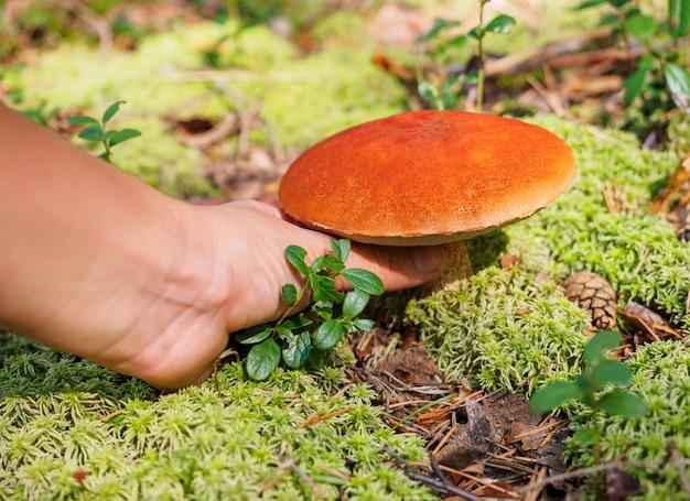 남성 손 이을에 숲에서 큰 아스펜 버섯을 선택
