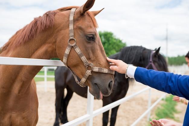 Мужская рука поглаживает голову лошади в загоне
