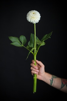 Мужская рука с белым хрупким цветком георгина, изолированным на черном
