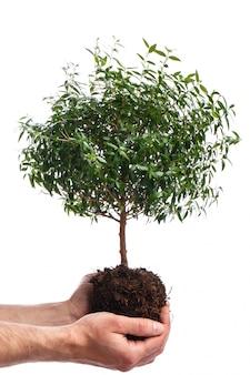 男性の手と小さな緑の木
