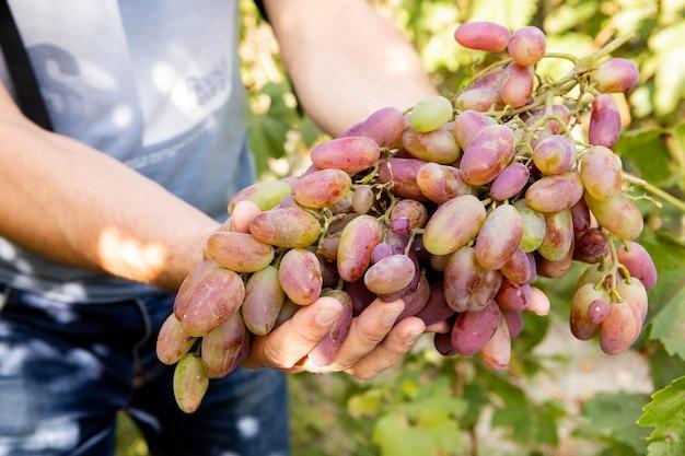 男性の手は大きくて熟したブドウの房を持っています。閉じる。ブドウの製造と収穫の概念