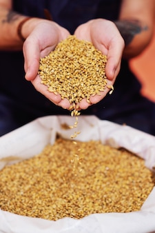 Male hands of the brewer holding beer malt on the surface of the brewery.