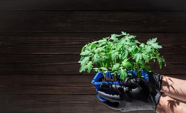 男性の手はトマトの苗で鍋を保持します