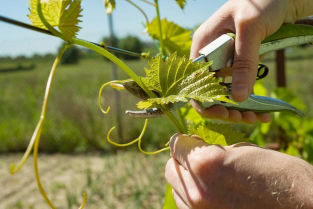 春の庭で剪定グレープバインと男性の手はブドウの茂みで働いています。