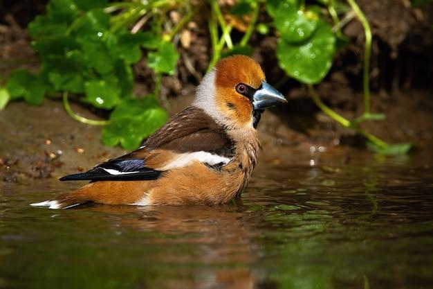 Мужской hawfinch очистки влажных перьев в мелком пруду в летней природе