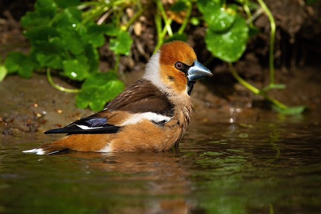 Male hawfinch cleaning wet feathers in shallow pond in summer nature
