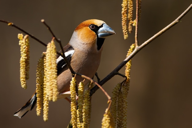 春の座っている春に咲くハシバミの小枝に座っている男性のカワセミ、coccothraustes coccothraustes。木で休んで庭の鳥