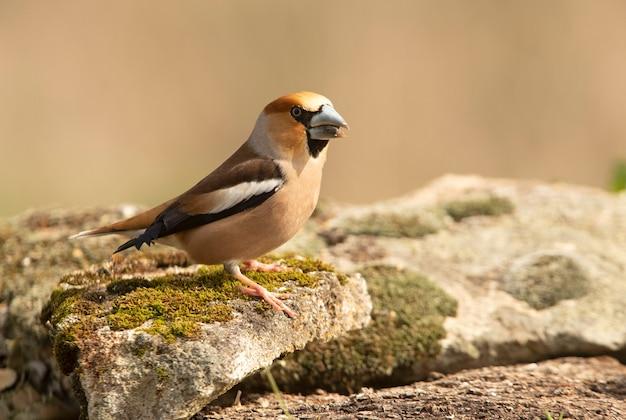 깃털을 긁는 새벽의 첫 빛을 가진 수컷 hawfinch