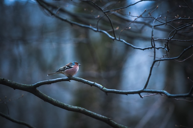 Мужской зяблик дома на ледяной ветке на дереве.